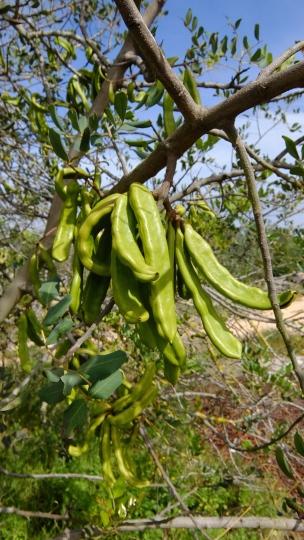 Früchte des Johannesbrotbaumes
