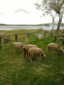 Schafe am Stellplatz