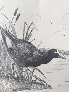 Purpurhuhn (endemisch)