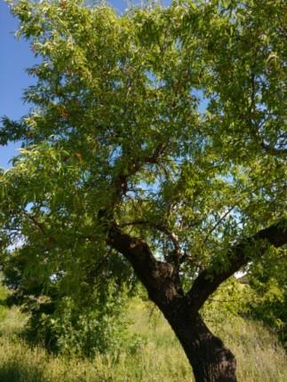 Alter Mandelbaum