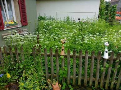 """Im Vorgarten blüht """"hübsch"""" der Giersch..."""