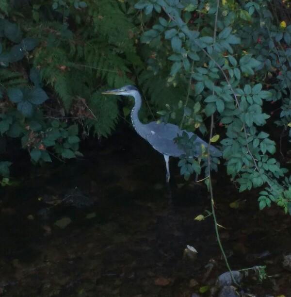 Ein Fischreiher im Durbach