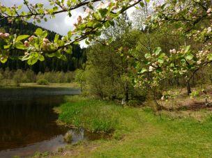 Späte Apfelbaumblüte