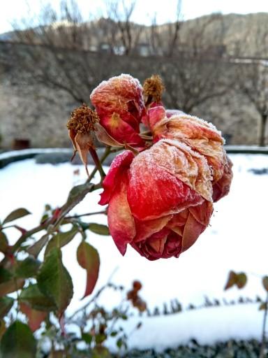 Die erfrorenen Rosen im Hofgarten