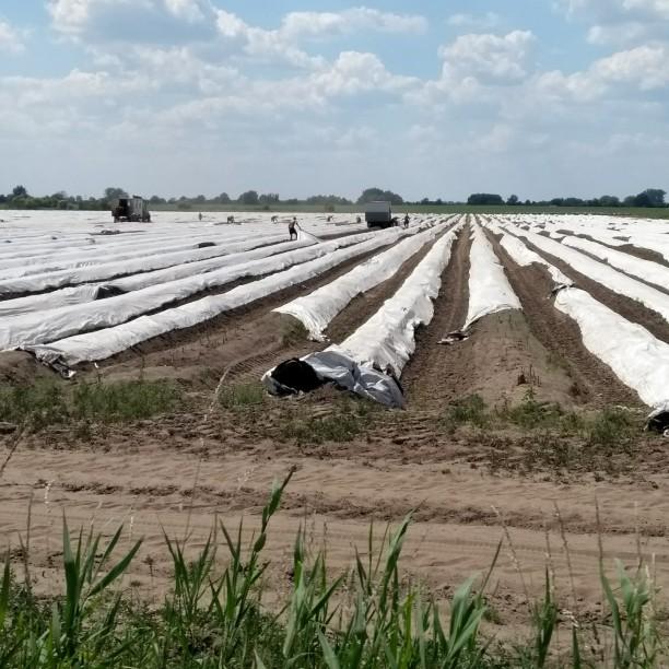 Erntemaschinen heben die weiße Folie kurzzeitig in die Höhe, damit der Spargel gestochen werden kann und fahren dann in der Reihe weiter.
