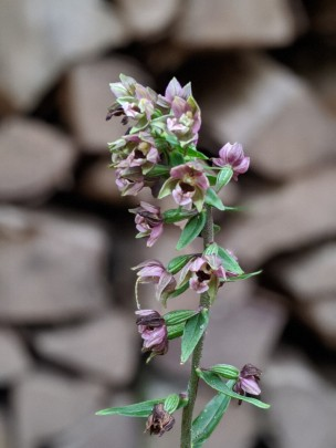 Stendelwurz-Orchidee